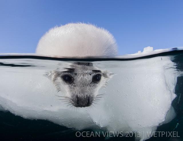 морской лев фото в воде