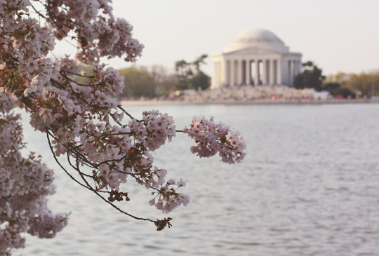 Cherry blossoms and the Thomas Jefferson Memorial in Washington, DC