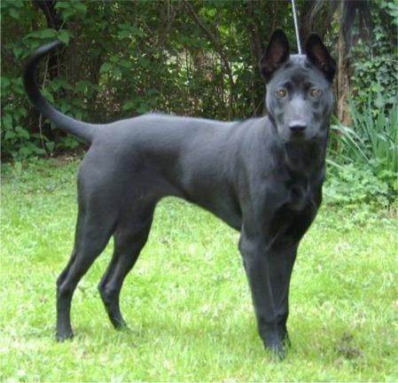 Vand Yorkshire Terrier Toy , Pret , Caini si Catei de Vanzare