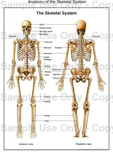 Human Body Organs Human Skeleton Anatomy Ppt
