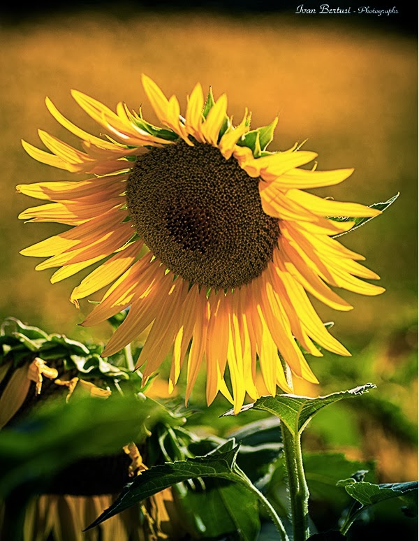 21 Sunny Pictures of Sunflower