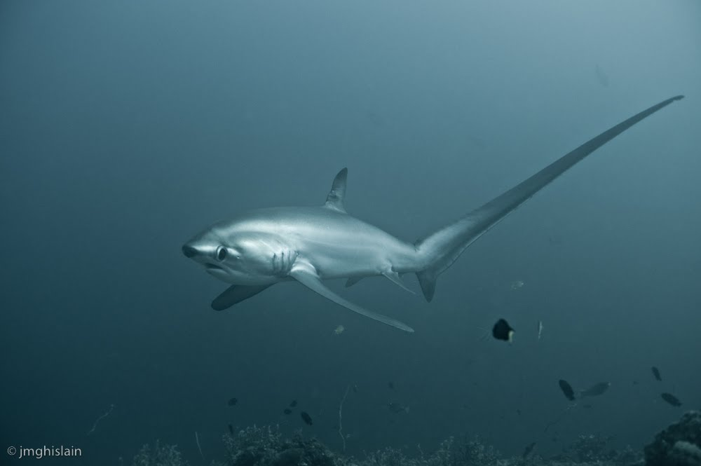 The Best Shark Dive In The World Thresher Sharks At