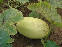 pumpkin marrow pale green