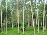 Tips Cara menanam Pohon Albazia