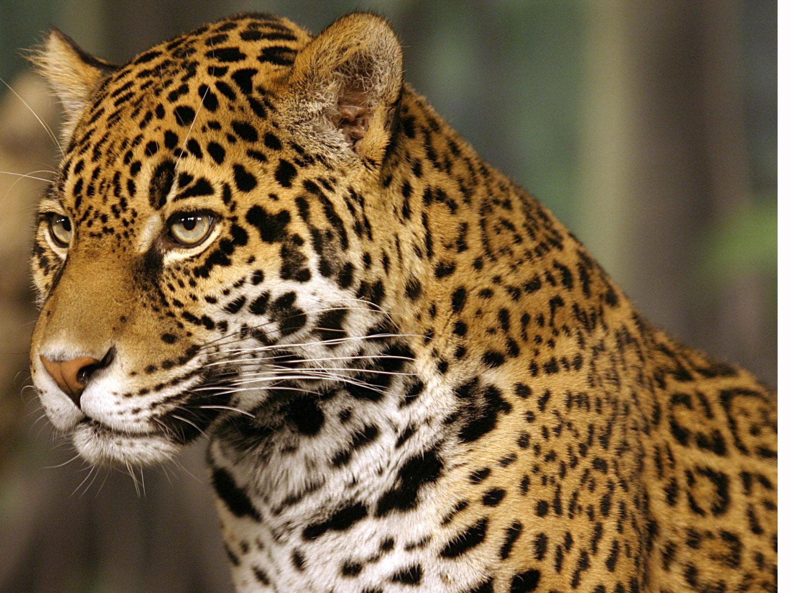 Coloring pages of jaguars printable - Jaguar Cartoon And Printable Jaguar Coloring Pages