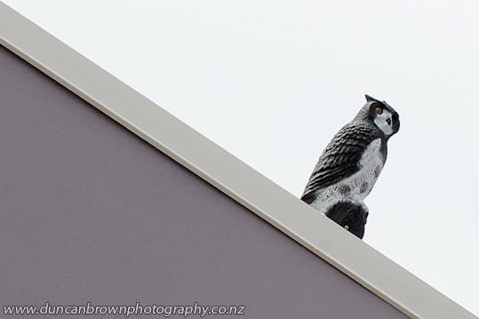 Bird-scarer, Hawke's Bay Today, Karamu Rd, Hastings photograph