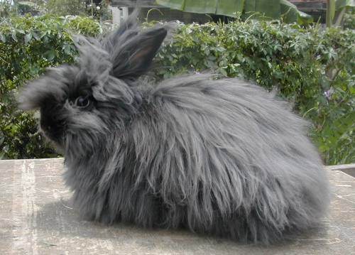 Funny english angora r...