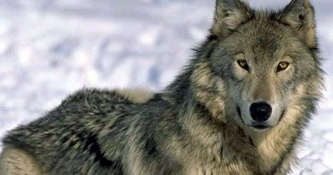 К чему снится Волк. Видеть во сне Волк - Сонник Дома Солнца