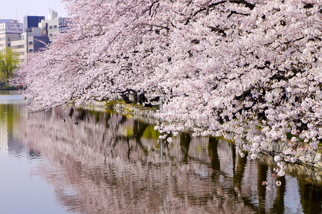 不忍池, 桜 , Shinobazu Pond, Sakura, Cherry Blossoms
