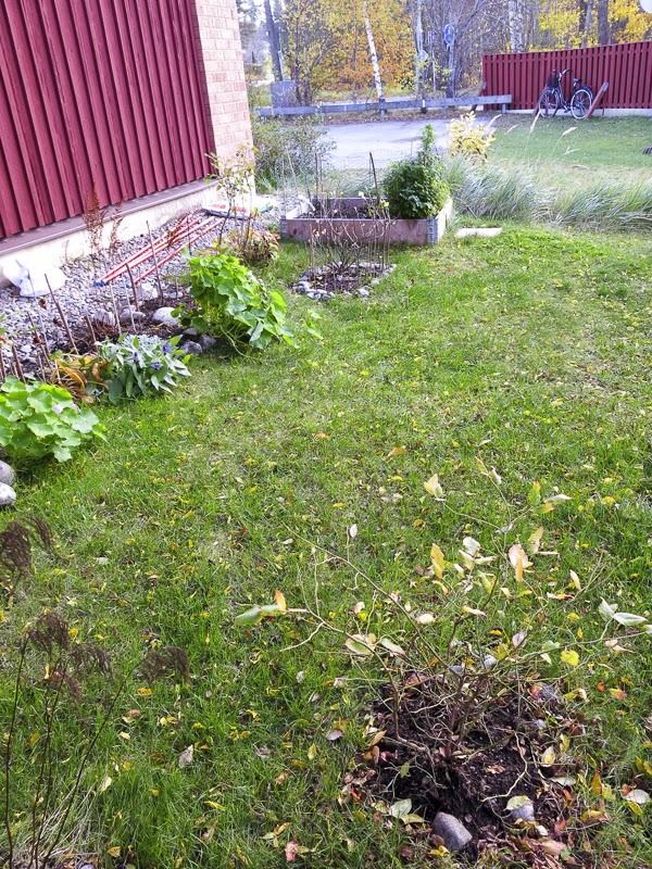 gräsmatta, blåbärsbuskar