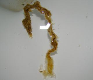 Le médicament pour les petits chiens des parasites