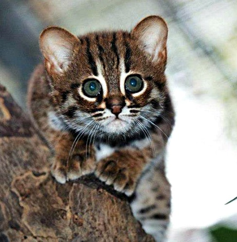 rusty spotted cat kitten looking into the camera with big eyes
