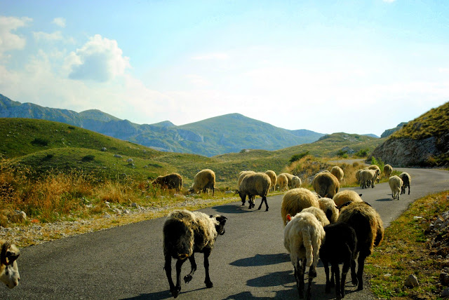 Goats in Durmitor.Montenegro