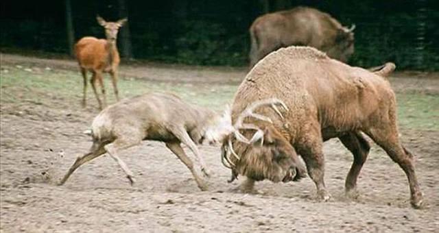 Deer Vs Bison Ritemail