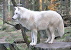 NAMC montessori upper elementary classroom presentations wolf