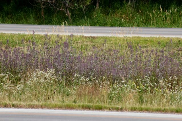 mystery plants in the median