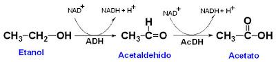metabolismo etanol cuerpo humano