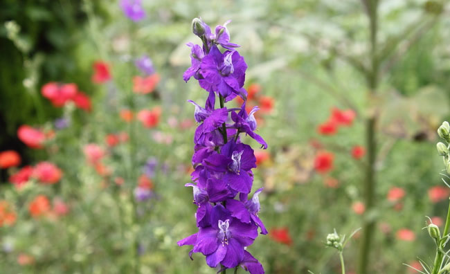 Delphinium Flowers Pictures