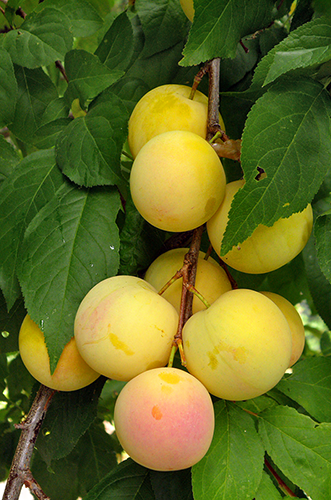 Mirabelle Plums on Tree branch