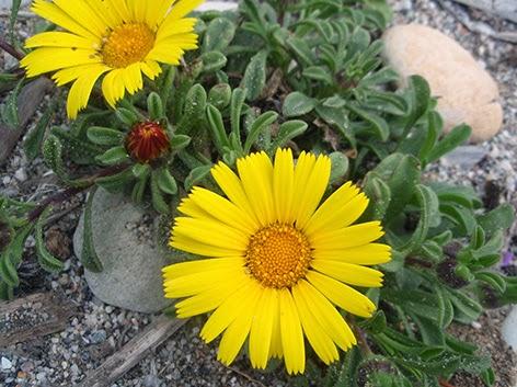 Asterisco (Asteriscus maritimus) flor amarilla