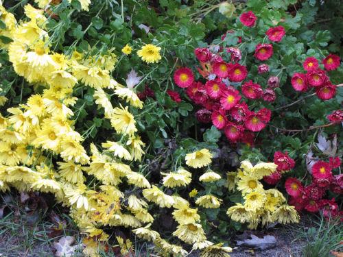 chrystanthemums