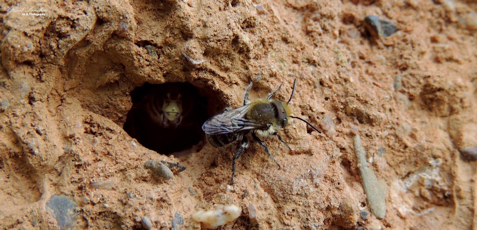 Naturaleza Viva : Nidos de las Abejas del tipo (Megachile centuncularis)
