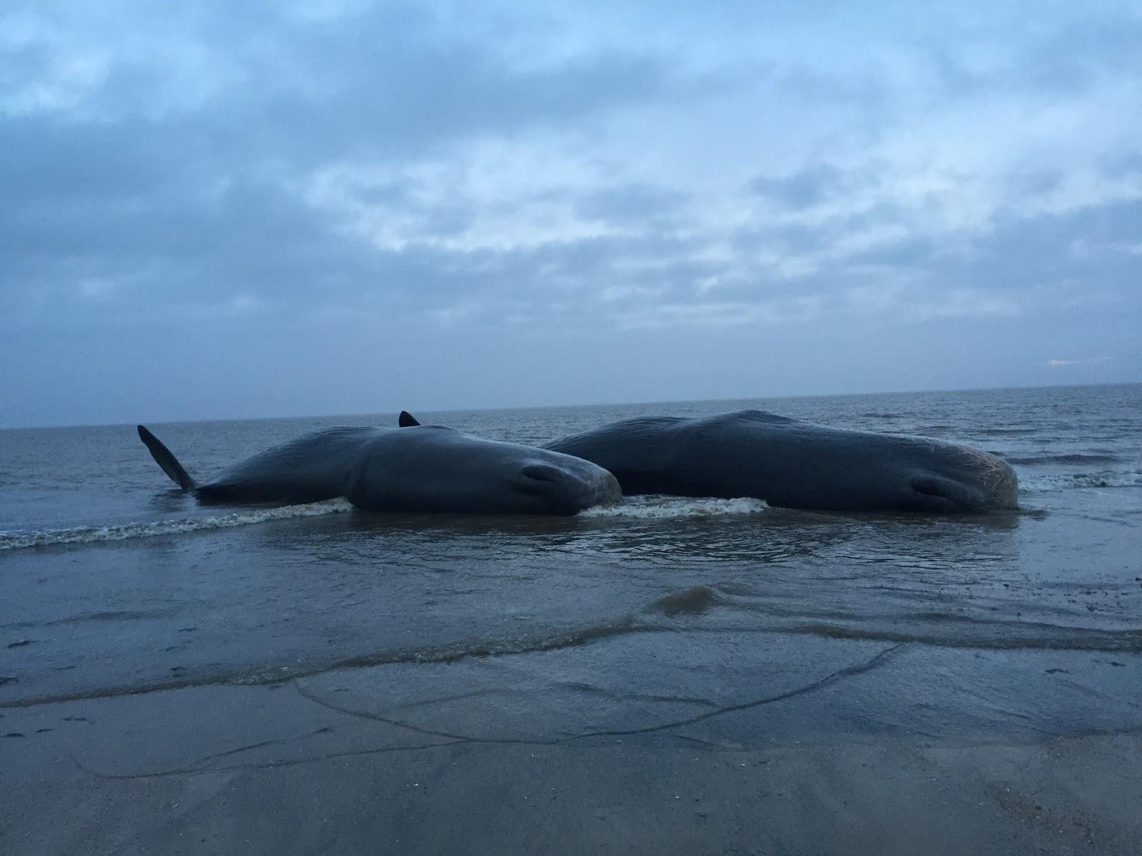 Sperm whale rescue inverness