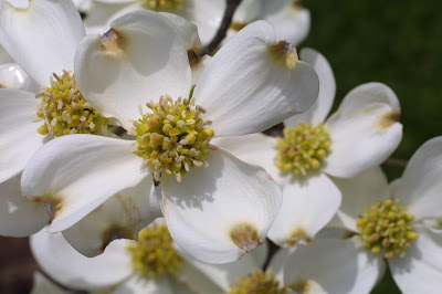 Dogwood (Cornus Florida) Overview, Health Benefits, Side effects