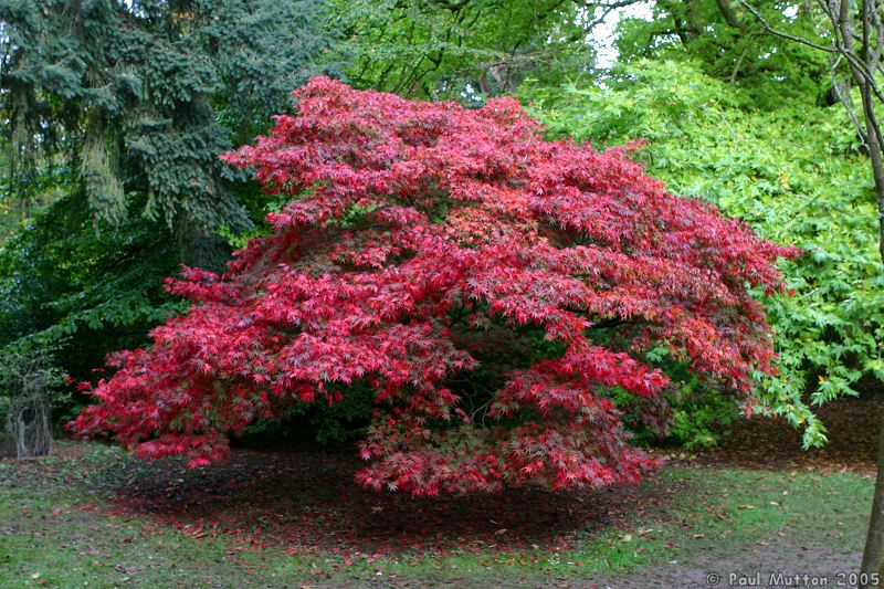 Autumn Colours Japanese Maple