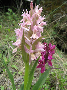 Dactyloriza sambucina. (Orchidea sambucina)
