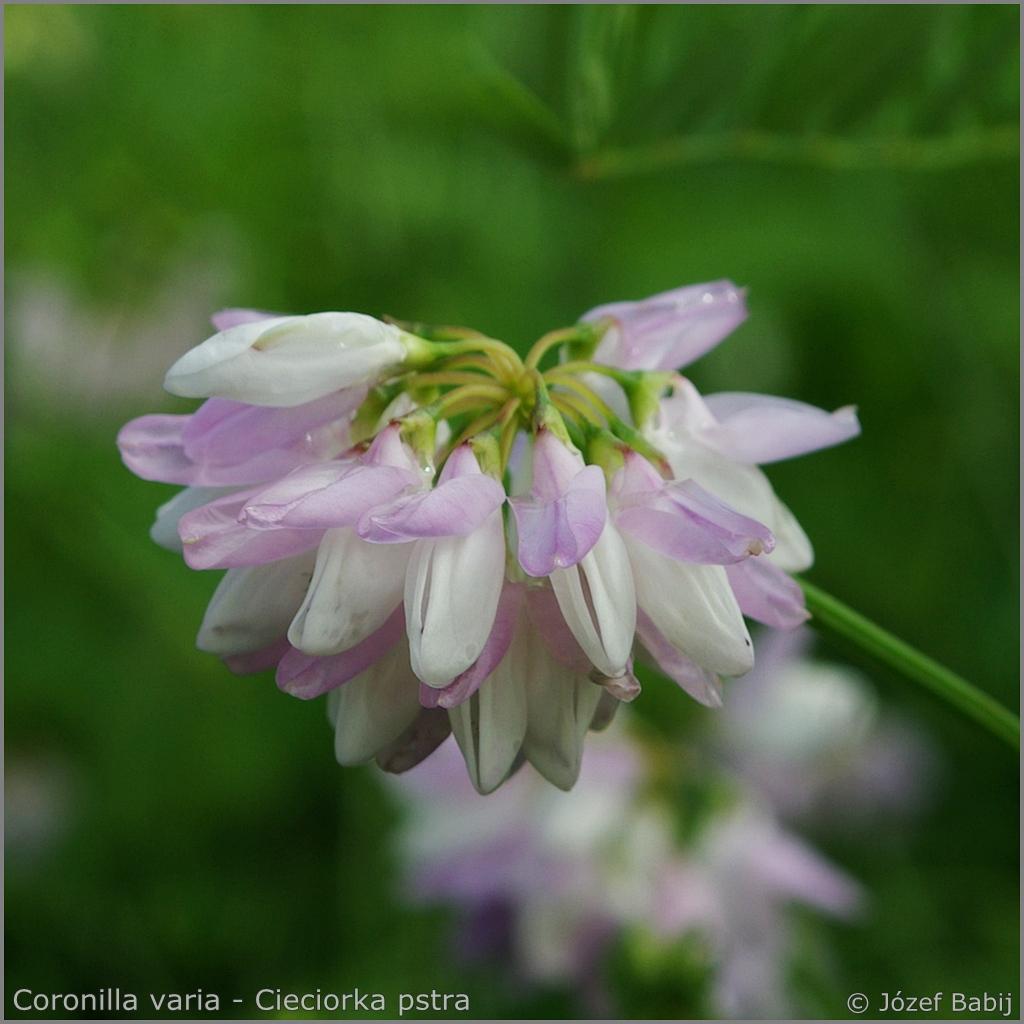 Coronilla varia inflorescence  - Cieciorka pstra  kwiatostan