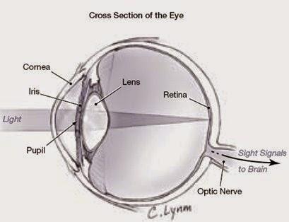 Bagian-Bagian Organ Mata dan Fungsinya