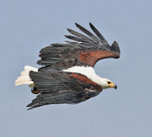 African Fish Eagle, Ethiopia