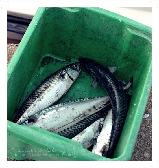 mackerel bohuslän sweden