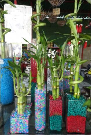 para tener un lucky bamboo comience colocando piedras o perlitas de vidrio en el fondo del recipiente o florero despus aada un poco de agua