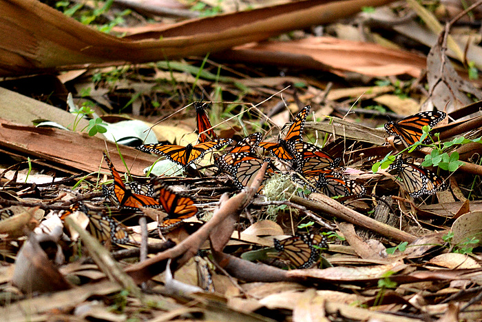 monarch butterfly grove sanctuary pacific monterey bay city california tourism places to go tourism trips weekend