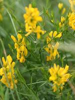 желтый красильный цветок