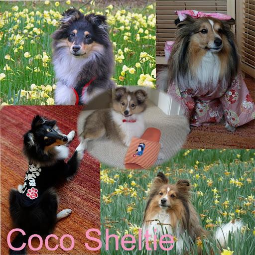 Coco Sheltie