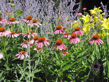 Russian Sage, Daylilies, Purple Coneflowers