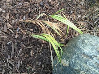 Hakonechloa macra Japanese Forest Grass