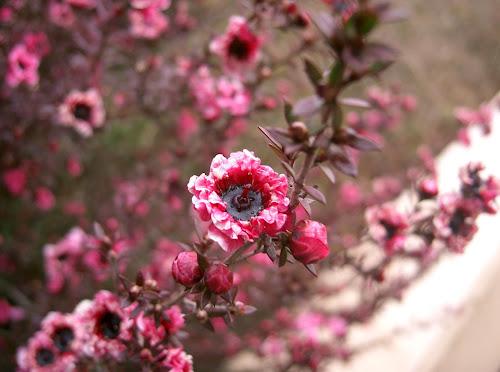 Érica japonesa veja como cultivar