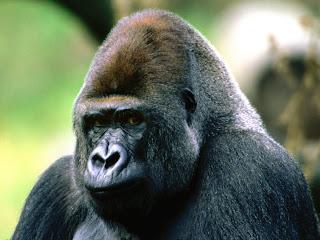 chimpanze7.jpg