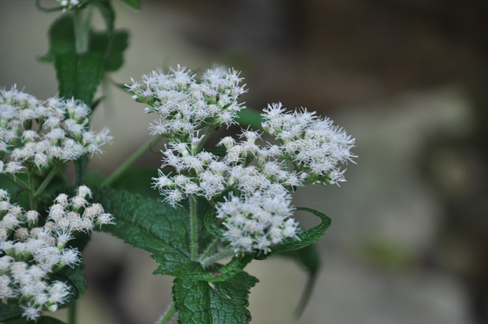 Fall flowers white snakeroot boneset and hyssop leaf boneset appalachian trail on little antietam creek md september 2011 mightylinksfo