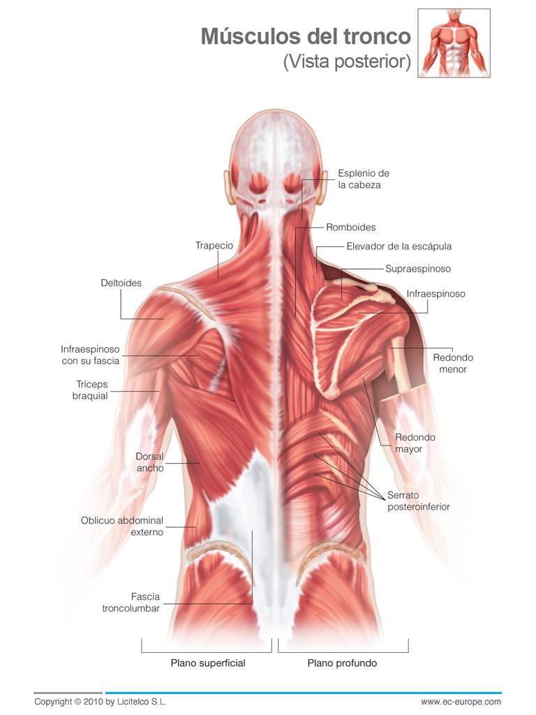 Los músculos del pecho superficial y profundo - ¿La puerta de los ...