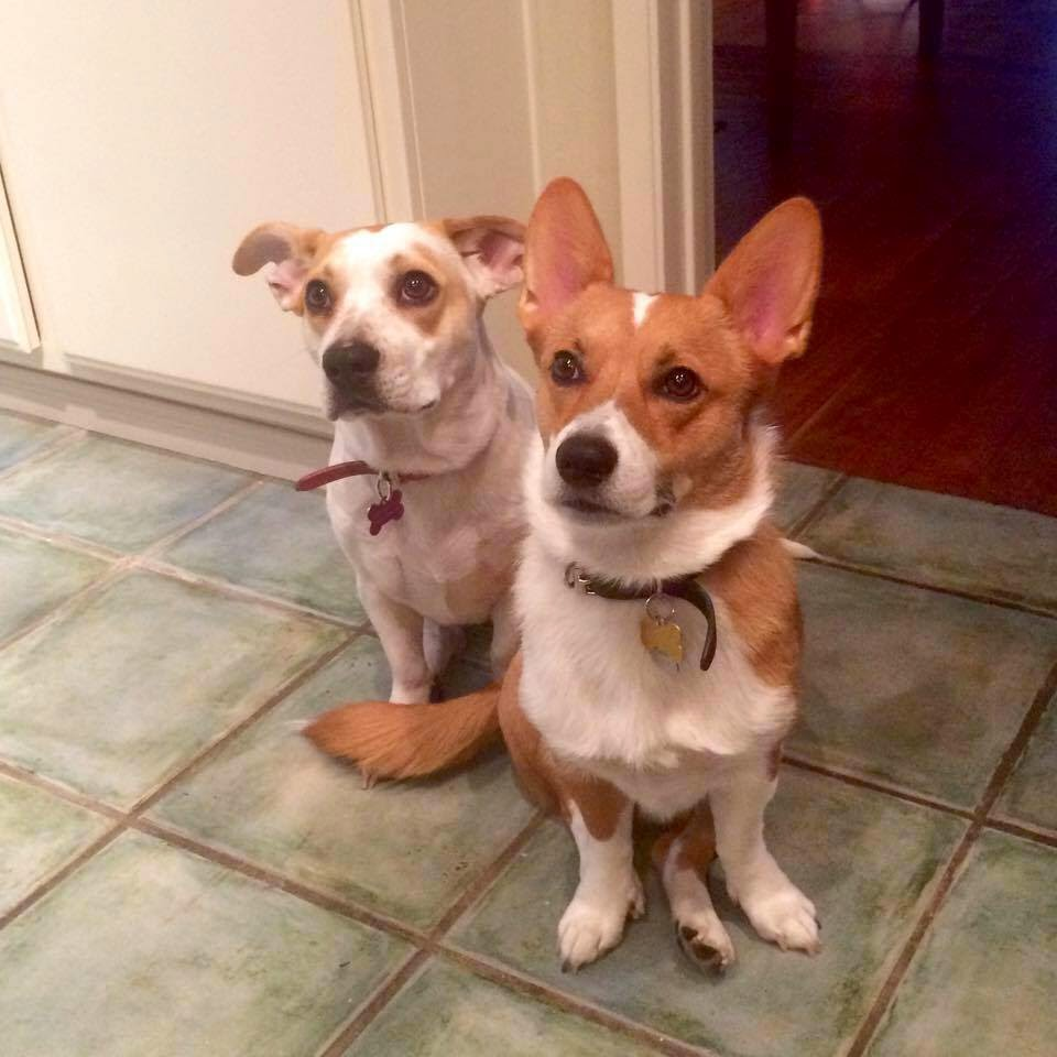 a picture of a corgi and a jack russel/basset hound