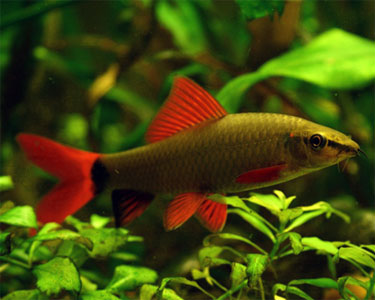 Nature lover rainbow shark for Freshwater shark fish