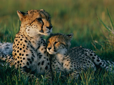 Pictures of Cheetah