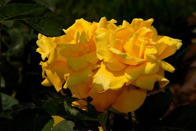 Trandafir de gradin galben