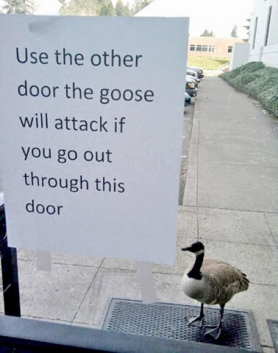 http://www.funnysigns.net/goose-will-attack/
