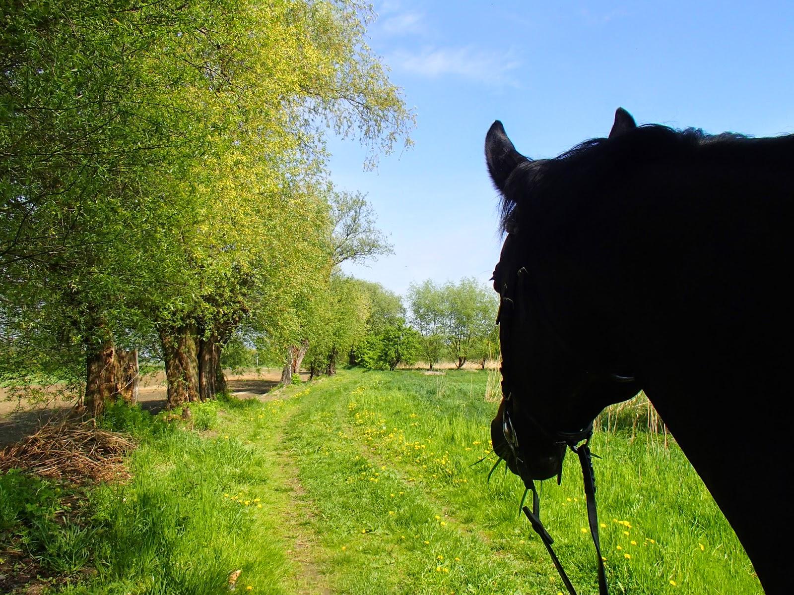 konie, jazda konna, teren, Laetiporus sulphureus żółciak siarkowy